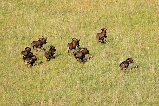 Black wildebeest running Aerial view of black wildebeest (Connochaetes gnou) running in grassland, South Africa wildebeest running stock pictures, royalty-free photos & images