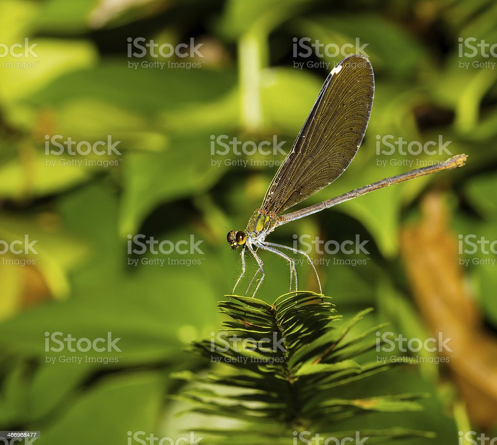 Black wing damselfly royalty-free stock photo