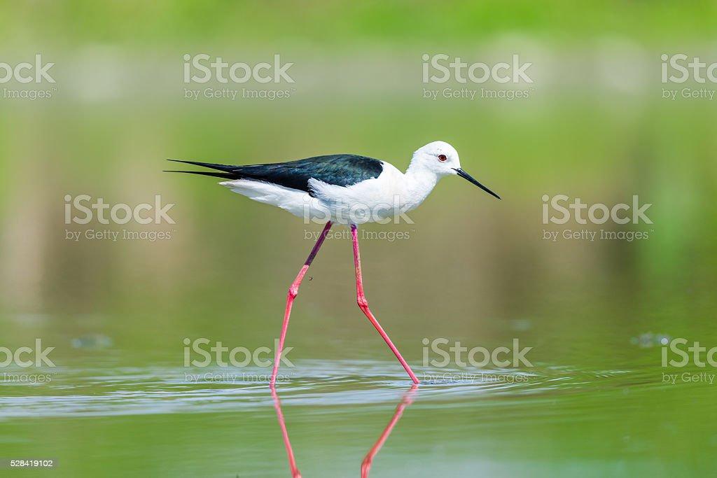 Black winged stilt stock photo