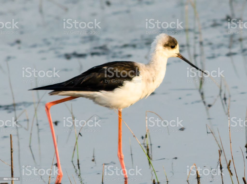 Black Winged Stilt foto de stock libre de derechos