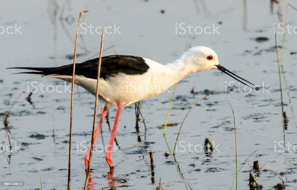 Black Winged Stilt photo libre de droits