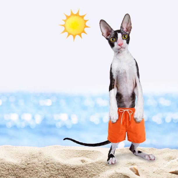 Black with white cornish rex cat standing up wearing swim shorts on picture id1025910960?b=1&k=6&m=1025910960&s=612x612&w=0&h=njx3l0kldcvjjzqpwhov4a 7udcmgs2af72h1rmh4ec=