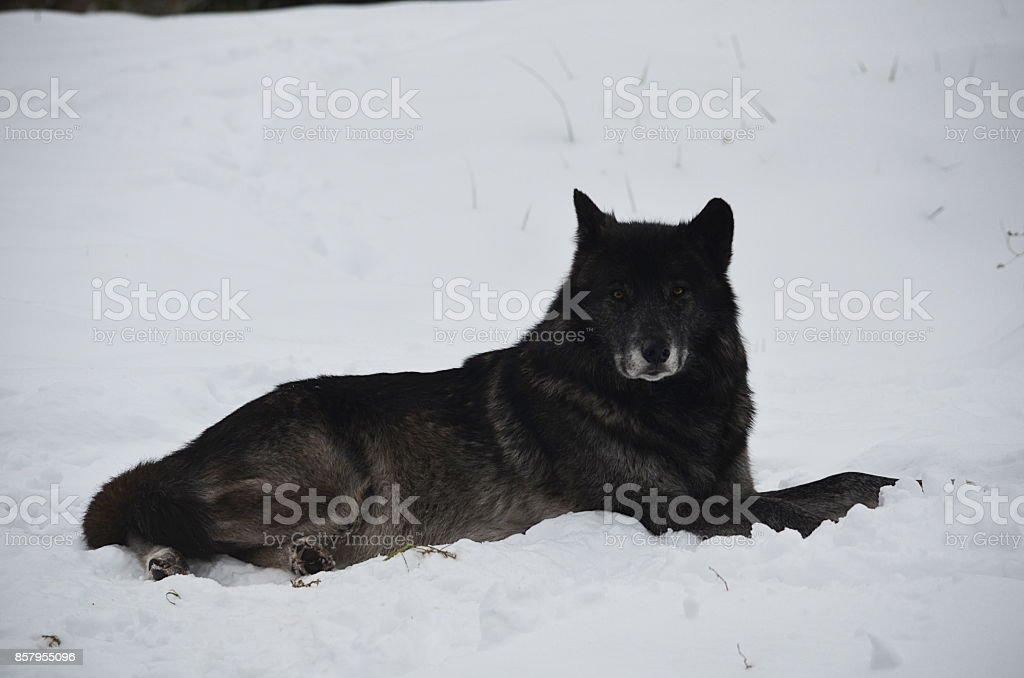 Lobo negro deitado na neve - foto de acervo