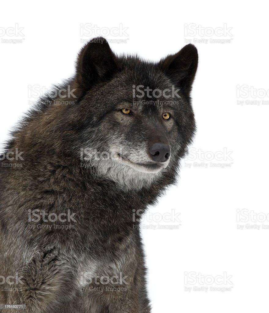 Black Wolf stok fotoğrafı