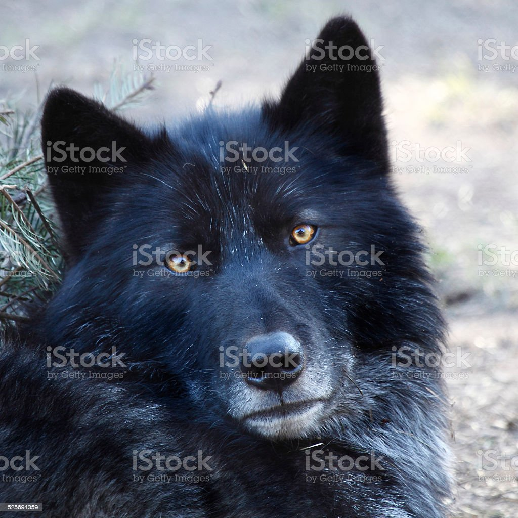 Preto lobo - foto de acervo