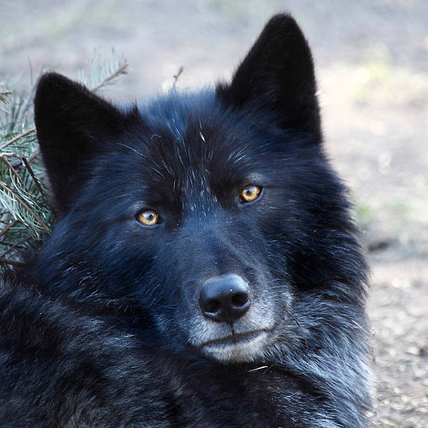 Best Black Wolf Stock Photos, Pictures & Royalty-Free ...