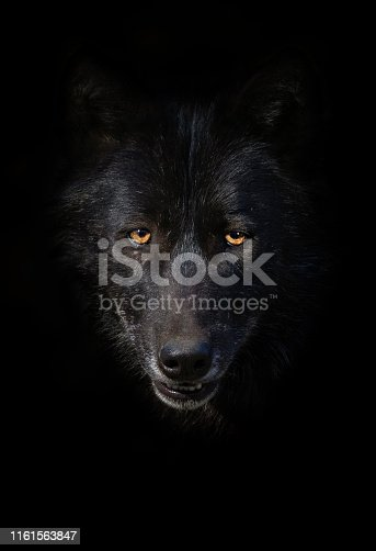 Portrait of a black wolf in front of a dark background.
