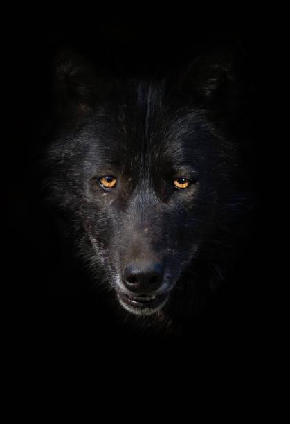 svart varg porträtt - wolf bildbanksfoton och bilder