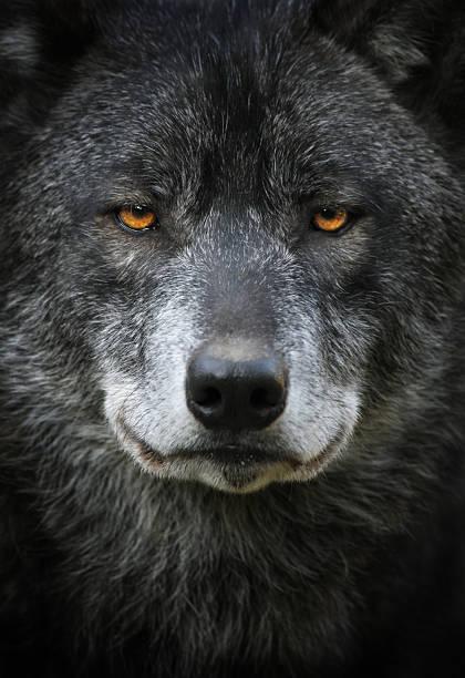 schwarzer wolf portrait - wolf stock-fotos und bilder