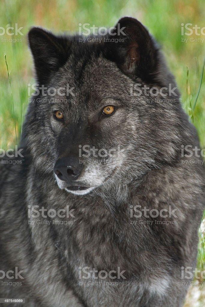 Lobo retrato preto - foto de acervo