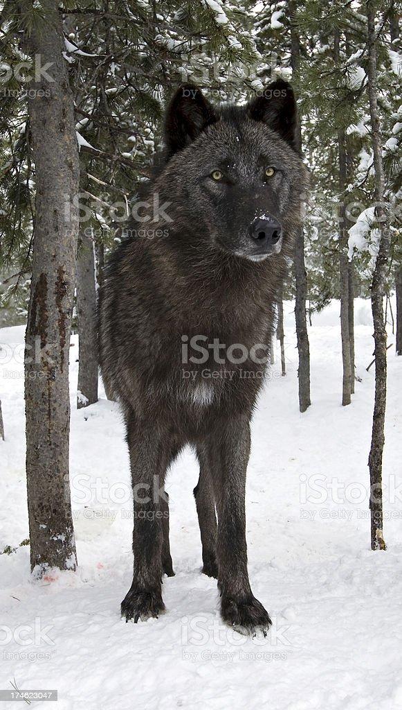 Preto Filhote de lobo - foto de acervo