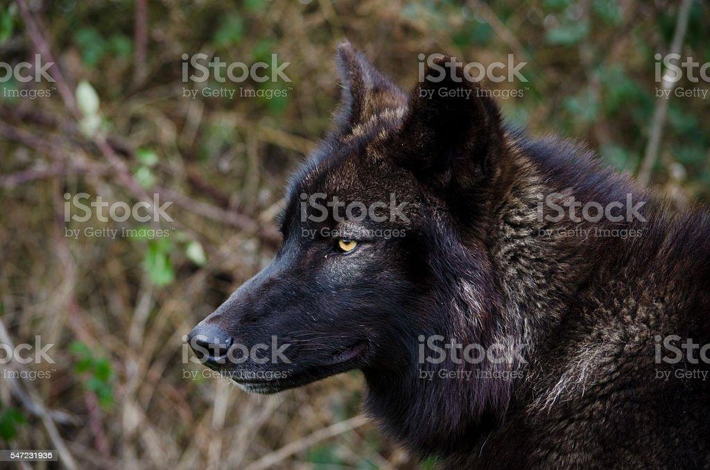 Black Wolf Smirk - foto de acervo