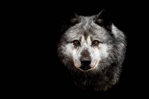 Svart varg med svart bakgrund bildbanksfoto