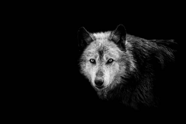 black wolf with a black background - lupo foto e immagini stock