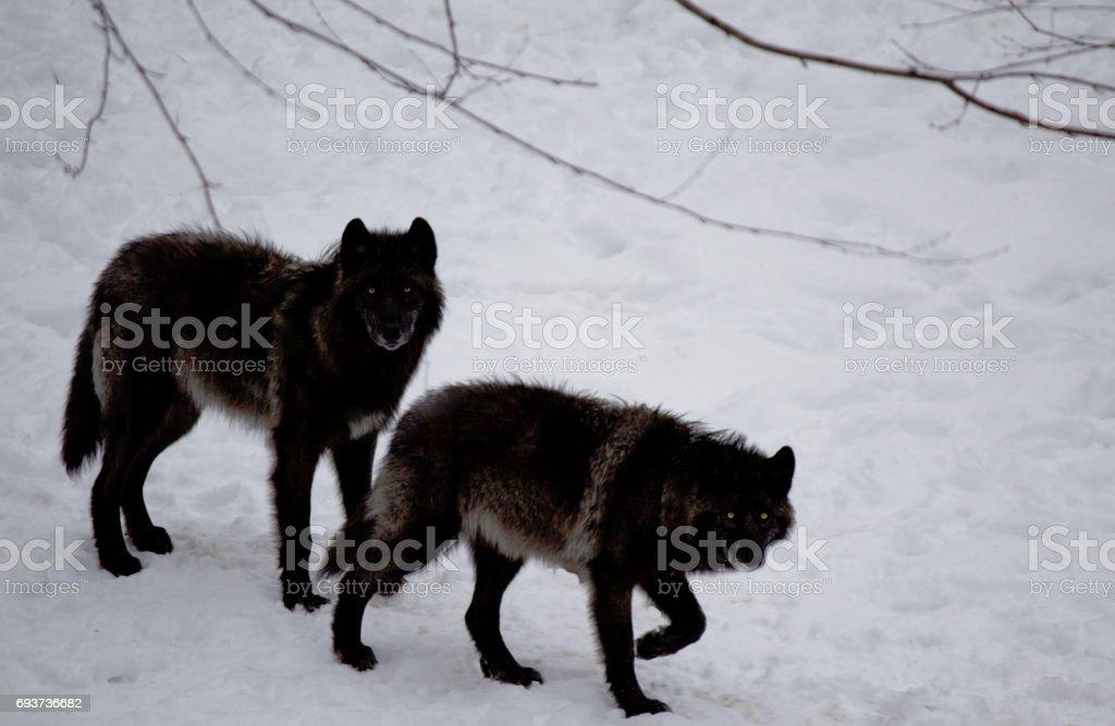 Lobos negros na neve - foto de acervo