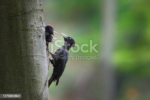 istock Black woodpecker mother feeding chicks on nest in tree. 1270942641