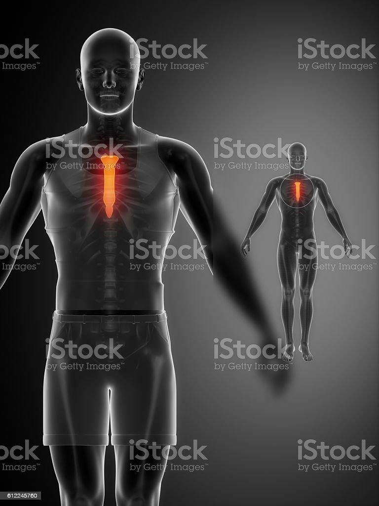 Brustbein Schwarz Xray Bonescan Stock-Fotografie und mehr Bilder von ...