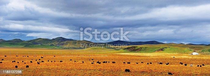 black yak on the mountain grassland