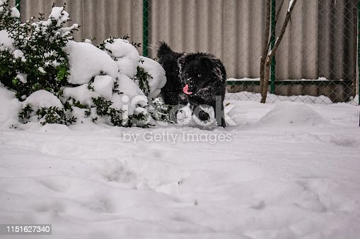 Black yard dog, with shaggy hair, Retriever. Winter, frosty weather and a lot of white snow. Pet.