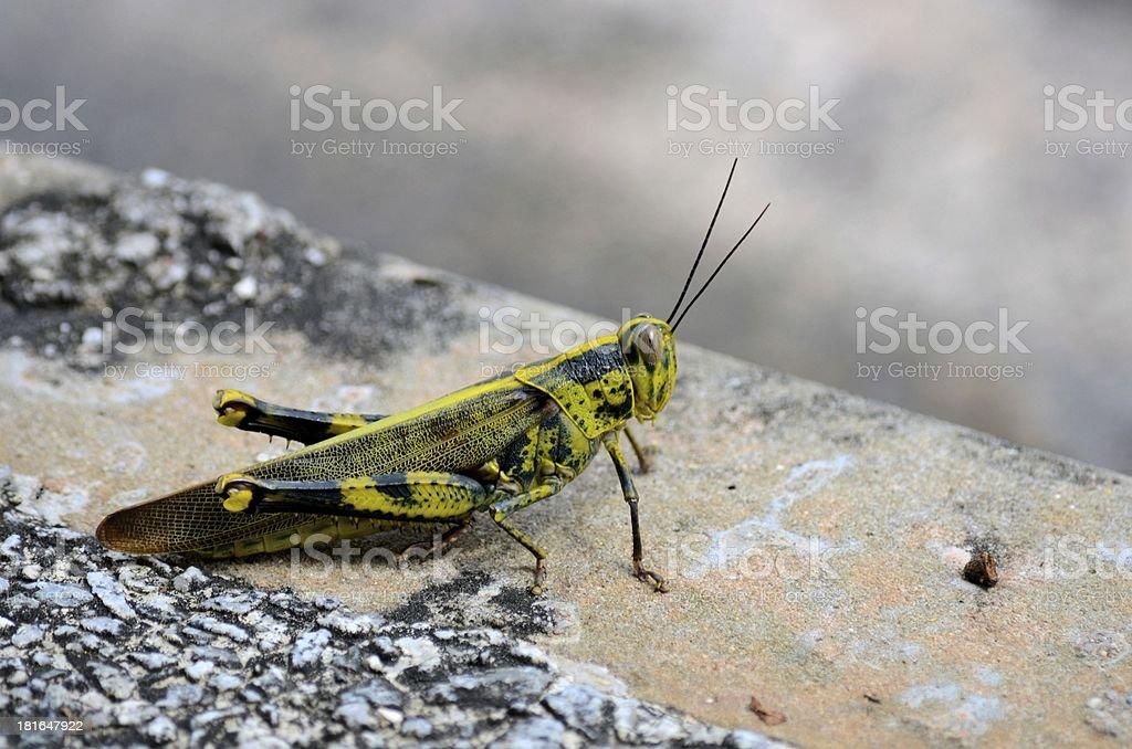 Fotografía de Negro Amarillo Y Verde Camuflaje Saltamontes Insecto y ...