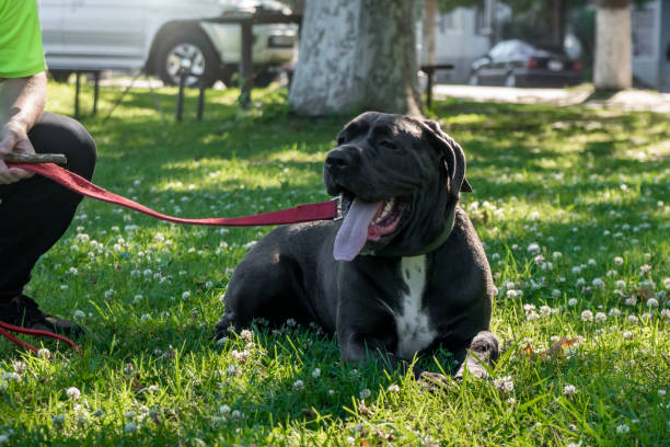Black Young Cane Corso Dog Sit On Green Grass with its owner Black Young Cane Corso Dog Sit On Green Grass with its owner, outdoor cane corso stock pictures, royalty-free photos & images