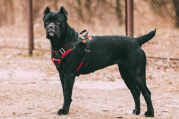 Black Young Cane Corso Puppy Dog Wears In Special Clothes Sitting Outdoors. Big Dog Breeds Black Young Cane Corso Puppy Dog Wears In Special Clothes Sitting Outdoors. Big Dog Breeds. cane corso stock pictures, royalty-free photos & images