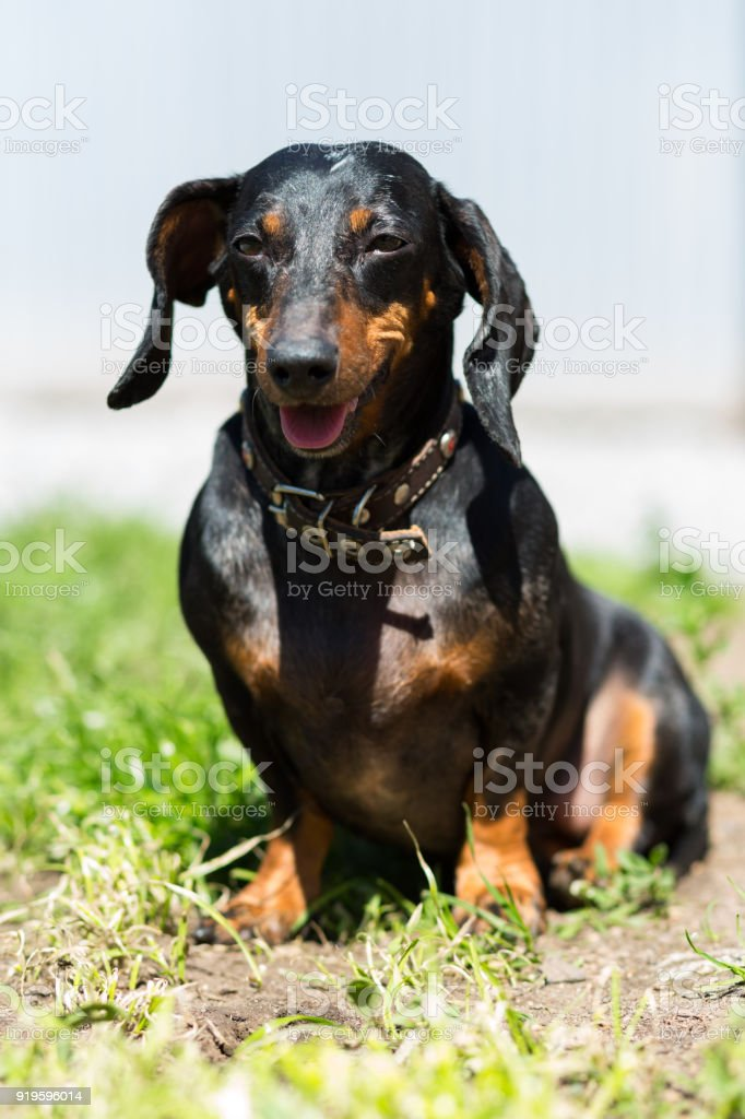 Black young dachshund dog on a sunny day sitting on the grass stock photo