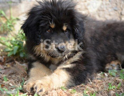 black dog pup(Tibetan Mastiff)  on the ground