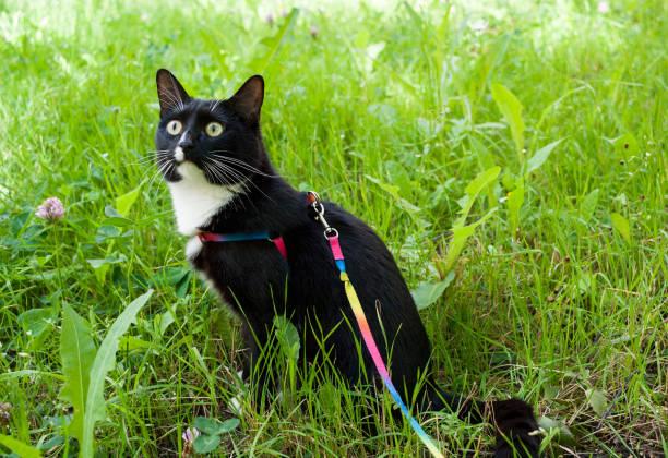 schwarz-weiße katze, zu fuß auf geschirr, sitzt auf der grünen wiese und vorsichtig nach oben sucht. - katzengeschirr stock-fotos und bilder