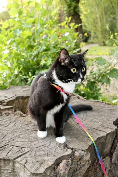 schwarz-weiße katze, zu fuß auf geschirr, sitzt im sommer auf hölzernen stumpf im stadtpark. - katzengeschirr stock-fotos und bilder