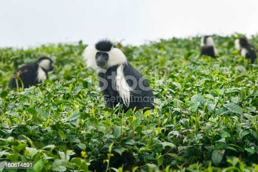 A herd of Black-and-white colobus monkesy (Colobus guereza) sitting in a field of tea. Colobus monkeys are common in wide parts of Africa.