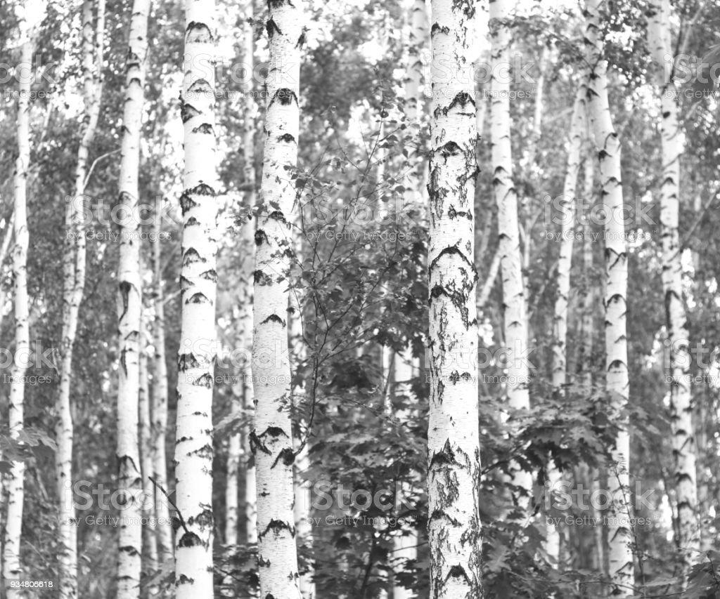 백 화 나무의 흑백 사진 - 로열티 프리 0명 스톡 사진