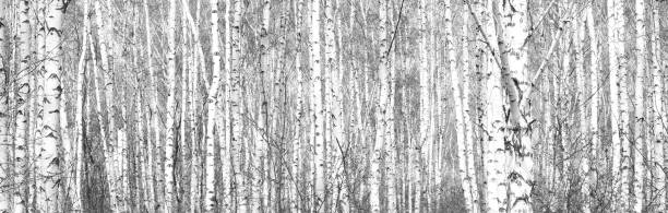 Schwarzweißfotos mit weißen Birken mit Birkenrinde – Foto