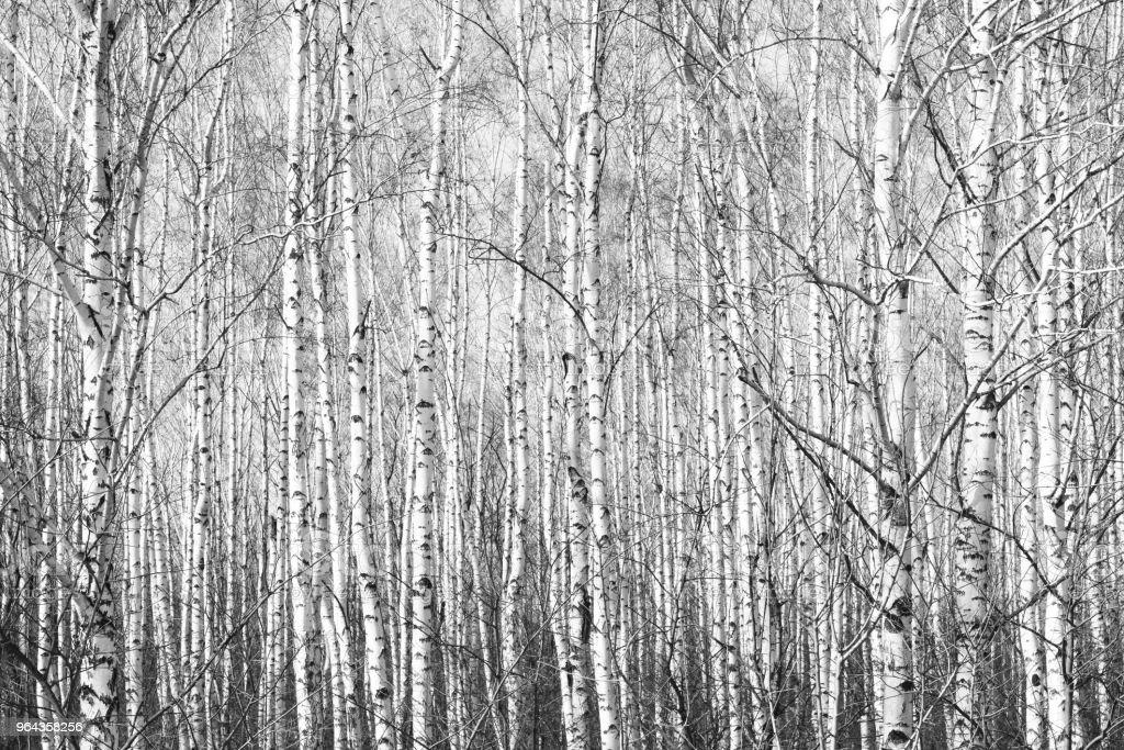 foto em preto e branco com branco birches com casca de vidoeiro - Foto de stock de Arte royalty-free