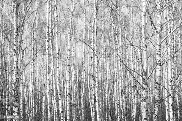 Foto de Foto Em Preto E Branco Com Branco Birches Com Casca De Vidoeiro e mais fotos de stock de Arte