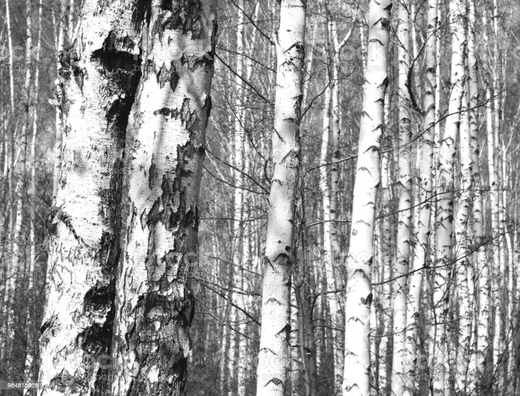 black-and-white photo with white birches with birch bark royalty-free stock photo