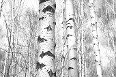 Winter landscape -  golden sunset in the birch grove. Golden sunlight among white trunks of birch trees. Fairy tale of frosty winter forest