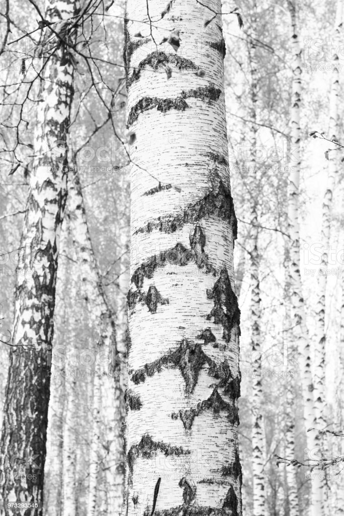 black-and-white photo with white birches with birch bark stock photo