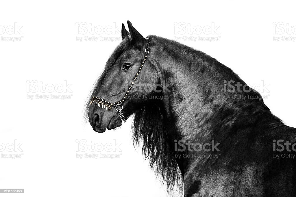 Black-and-white portrait of a Friesian stallion stock photo