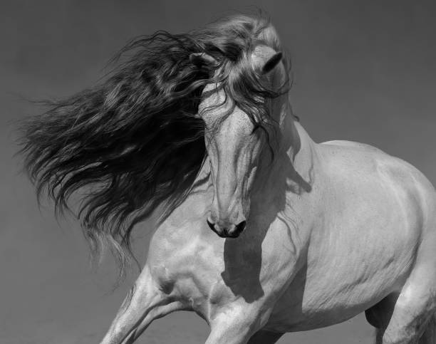 Black-and-white portrait of white Spanish horse with long mane. Close up black-and-white portrait of white Spanish horse with long mane. stallion stock pictures, royalty-free photos & images
