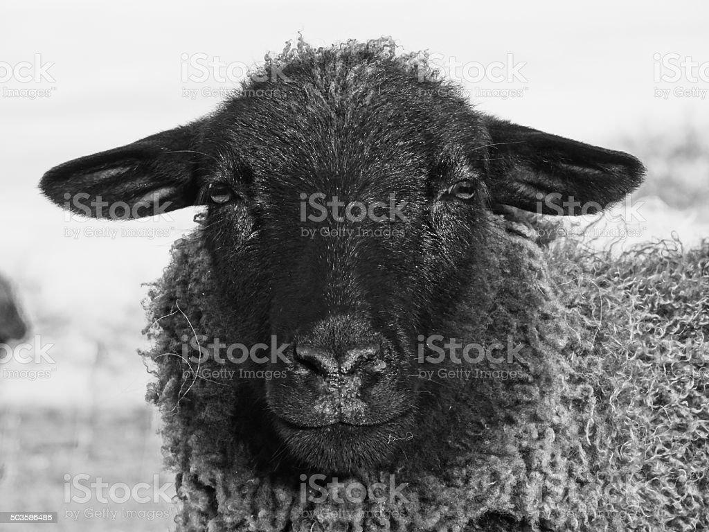 Black-and-white sheep stock photo