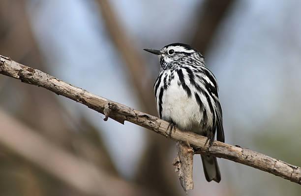 black-and-white warbler - amerikaanse zangers stockfoto's en -beelden