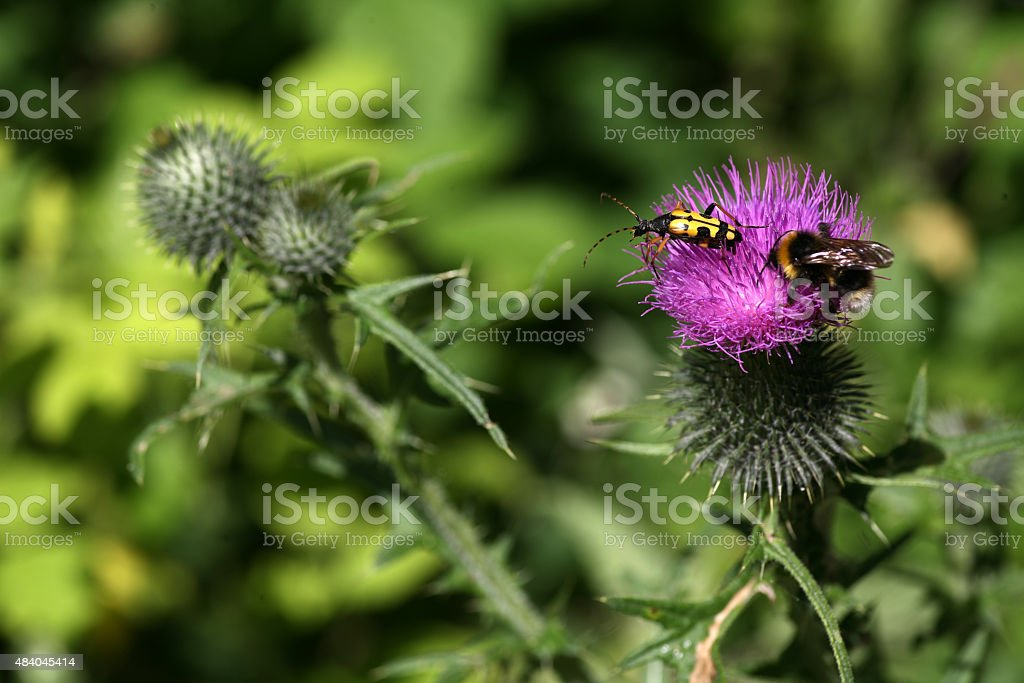 Black-and-yellow longhorn beetle and Bombus terrestris on a thistle stock photo