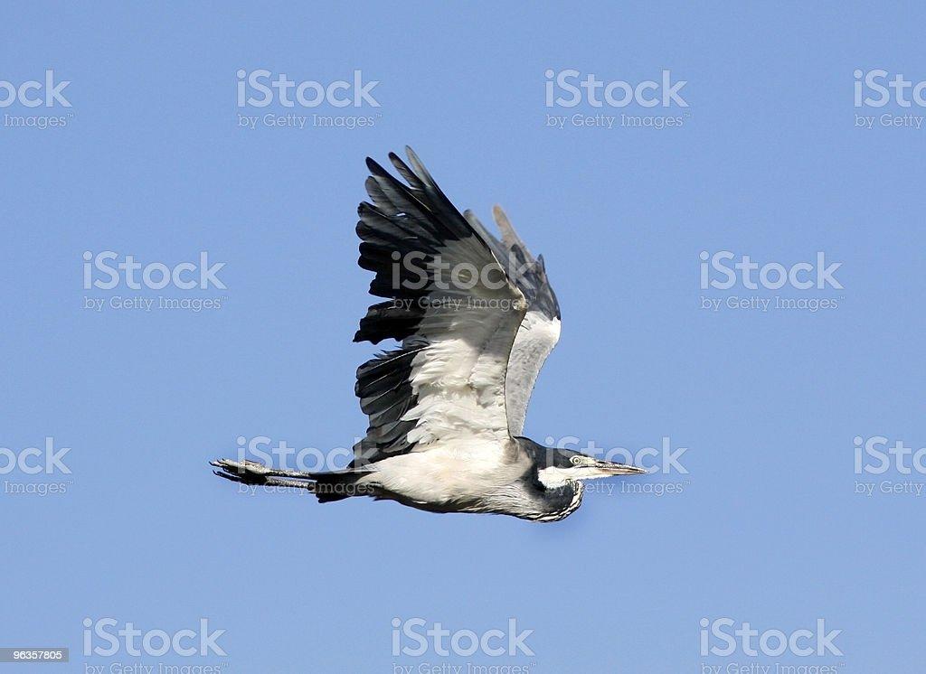 Black-backed heron in flight royalty-free stock photo