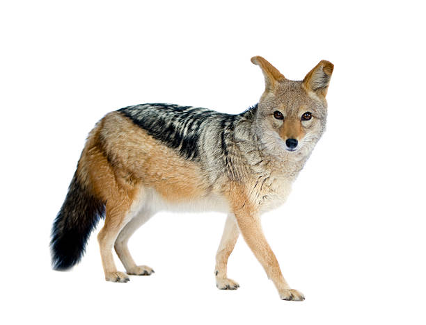 Schabrackenschakal-Canis mesomelas – Foto