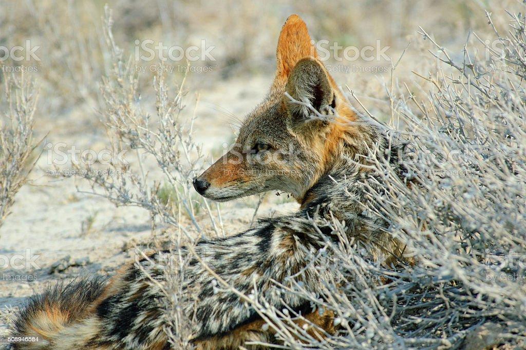 black-backed jackal lying behind a dry bush stock photo