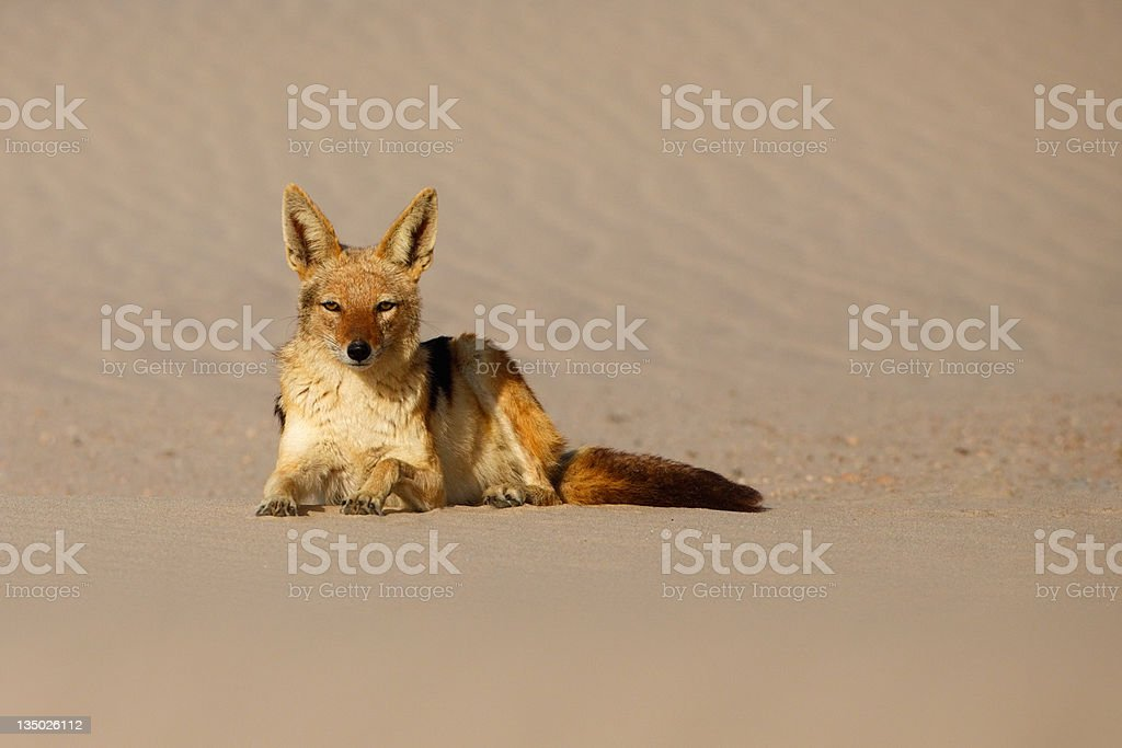 Black-backed Jackal lying on sand stock photo