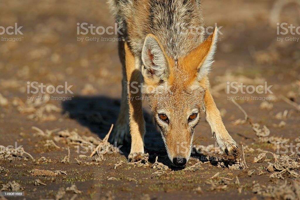 Blackbacked Jackal Stock Photo More Pictures Of Africa Istock