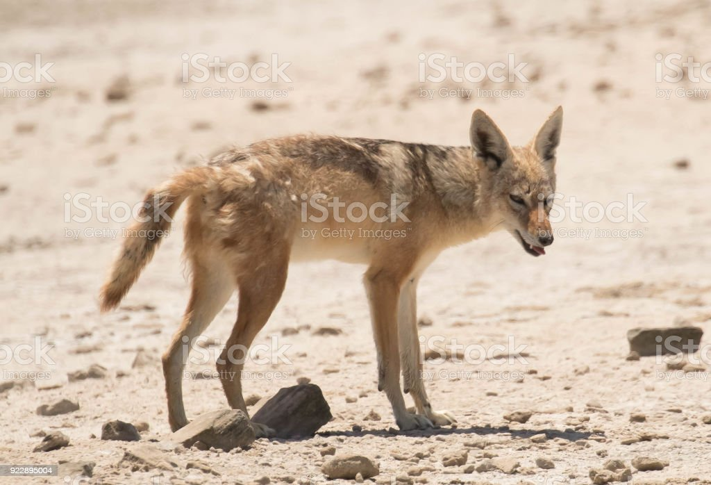 Blackbacked Jackal Stock Photo More Pictures Of Animal Istock