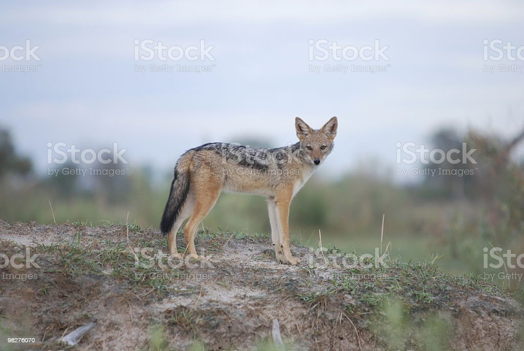 Black-backed Jackal royalty-free stock photo